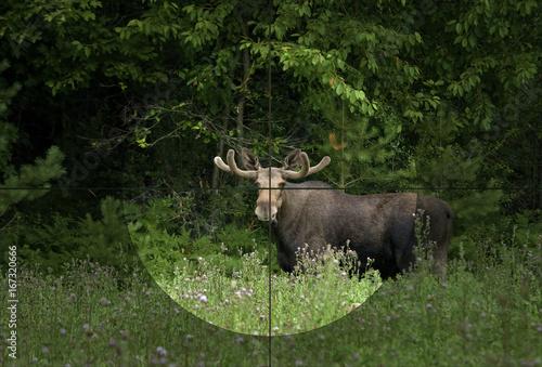 Moose bull in the rifle's focus