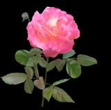 large light pink rose flower on black