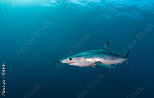 Short fin mako shark underwater view offshore from Cape Town, South Africa Poster