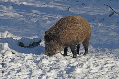 Wildschwein Poster