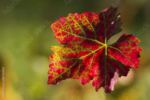 Leinwanddruck Bild Rotes Weinlaub