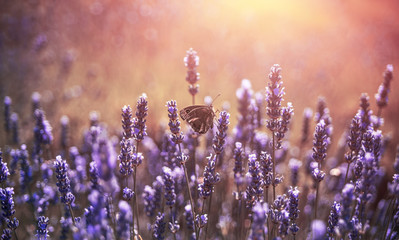 Butterfly at lavender with pastel colours