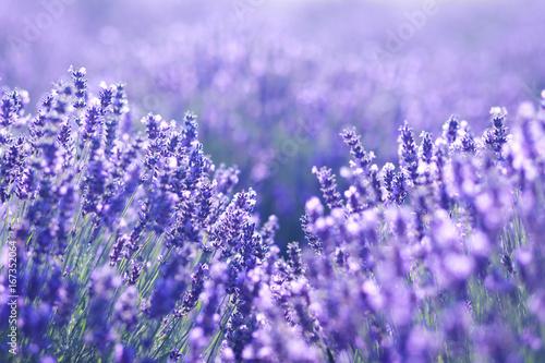 close up shot of lavender flowers © zea_lenanet