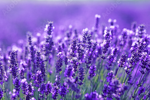 close up shot of lavender flowers - 167352250