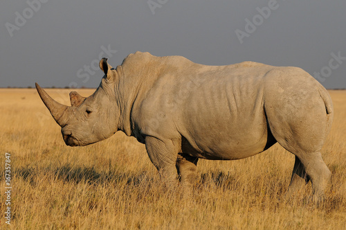Breitmaulnashorn in der Savanne, Etosha Nationalpark, Namibia