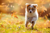 Hund, Australian Shepherd Welpe springt im Herbstlaub