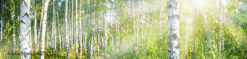 brzozowy-gaj-w-sloneczny-letni-krajobrazowy-sztandar