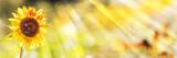 Sunflower, Bumblebees, Summer Background