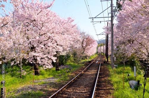 京都 嵐電北野線 桜のトンネル