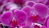 Orchidée phalaenopsis rose.