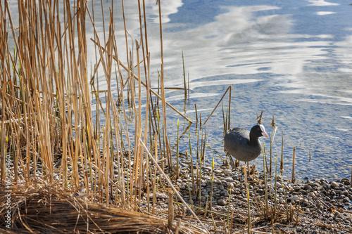 Fulica Atra between reeds Poster