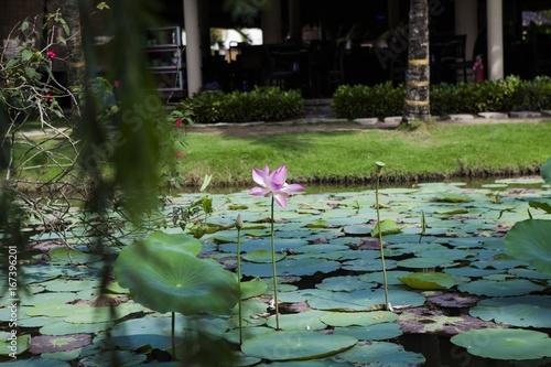 Lotus pond Viet Nam
