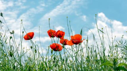 Mohnblumen vor dem Himmel