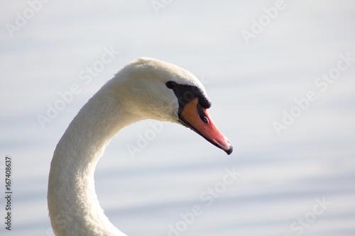 White swan portrait