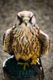 ptak drapieżny