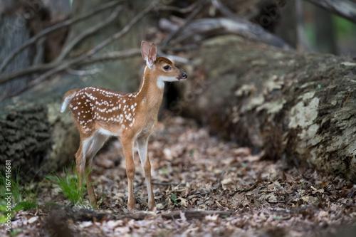Fawn Whitetail Deer плакат
