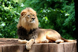 Proud Lion Laying in front of Trees  - 167416860