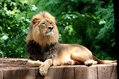Proud Lion Laying in front of Trees Poster