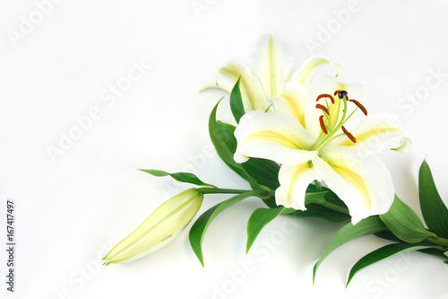 kwitnąca lilia na białym tle