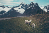 Two baby lambs by  a road eating grass - 167431660
