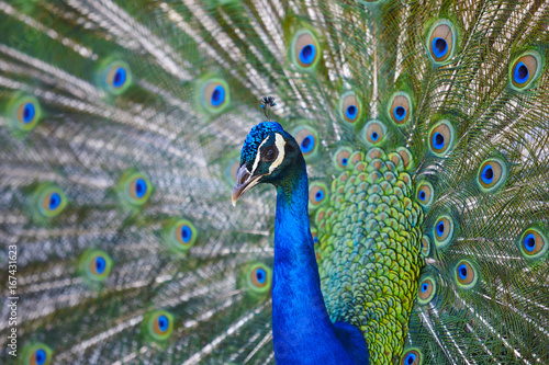 Foto op Aluminium Pauw Peacock with colorful spread feathers. Animal background.
