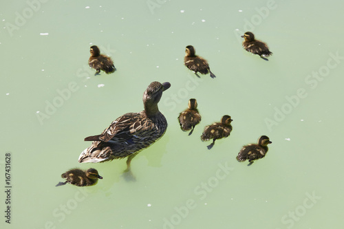 Fotobehang Female duck with family on a green pond. Nature