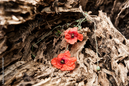 Red poppy flower on a structural wooden background