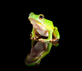 Reflected green tree frog