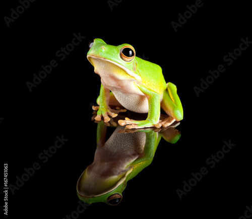 Aluminium Kikker Reflected green tree frog