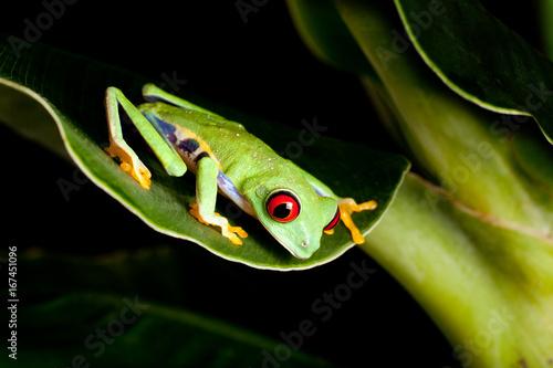 Red eyed frog on banana tree