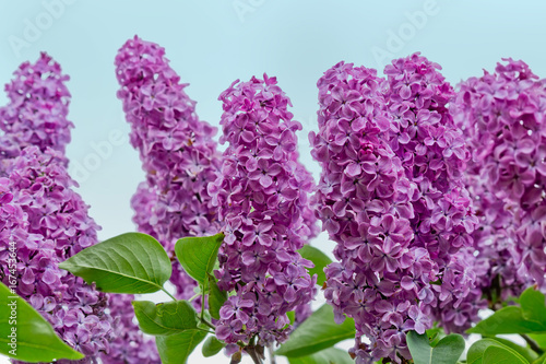 shrub with clusters of purple lilacs closeup against the sky