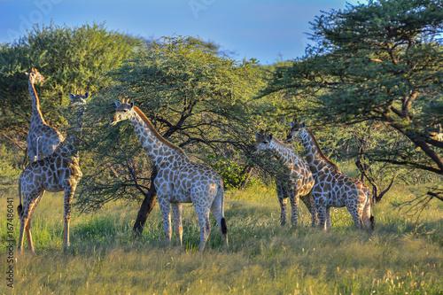 Namibia Okonjima game reserve giraffe Poster