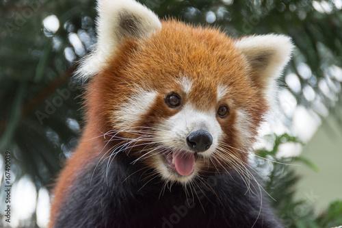 Plakat Red panda bear on tree