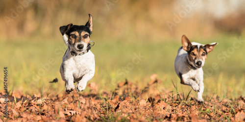 Two small dogs running over autumn leaves - jack russell
