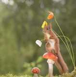 red squirrel standing on a mushroom