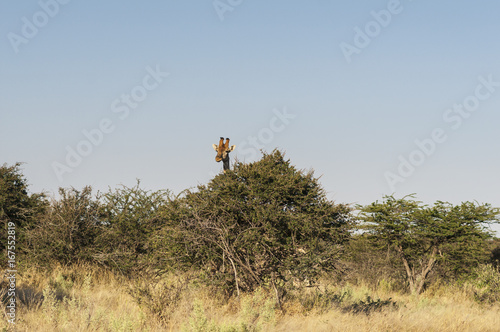 Giraffe in the Etosha National Park / Giraffe looking over a tree in Etosha National Park Poster