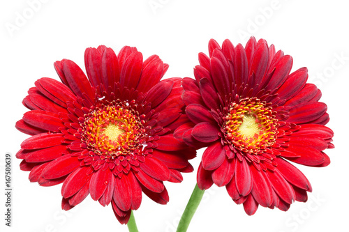 Two red gerbera isolated on white