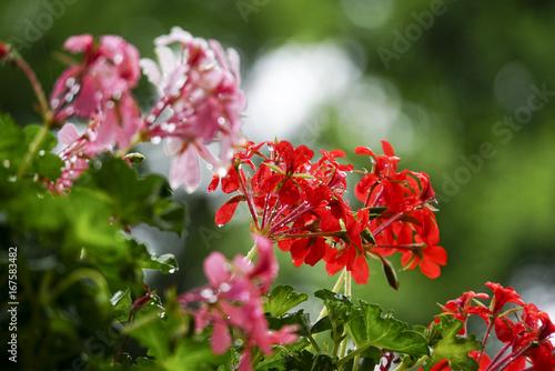 Foto op Canvas Azalea Blooming red flower