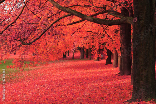 Fotobehang Rood autumn tree in the park
