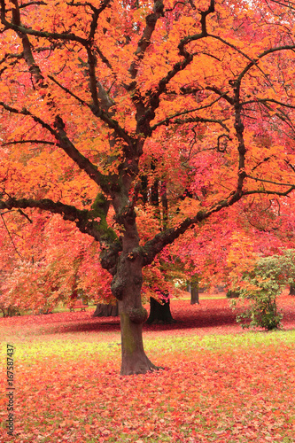 Foto op Plexiglas Oranje eclat autumn tree in the park