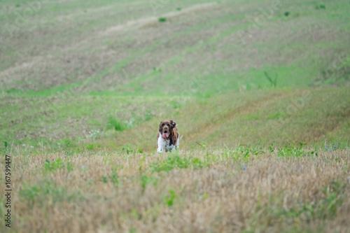 Hunting dog on nature field Kleiner Muensterlaender