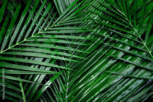 Fototapeta coconut leaf