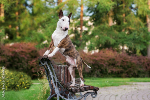beautiful bull terrier dog posing on a bench