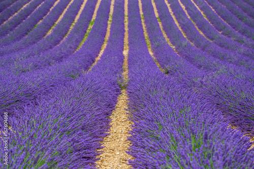 Fotobehang Lavendel Campi di lavanda in Provenza valensole