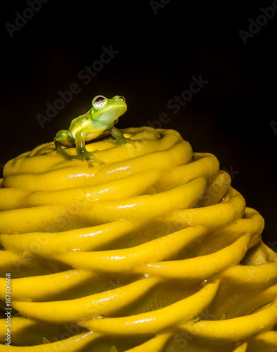 Tiny tree frog on large yellow flower