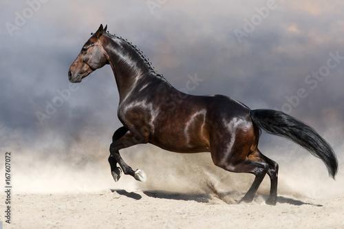Fototapeta Bay horse in motion in desert dust