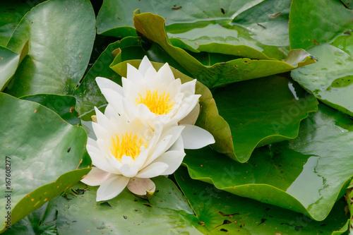 Weiße Seerosen (Nymphaea) mit großen Blättern in einem Teich