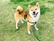shiba dog - 167626889