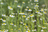 Flowering chamomile flowers in nature.