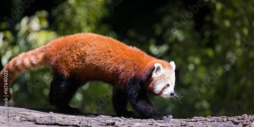 Aluminium Panda Red panda
